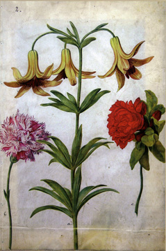 """Study of a Lily"" by Merian"