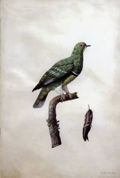 Study of a pigeon by Madame Antoinette Pauline Knip